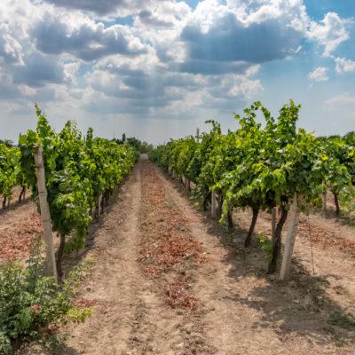 Tour to Bessarabia, Ukraine. Vineyards in Odessa region. August 2019.
