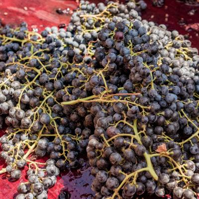 Tour to Bessarabia, Ukraine. Best wine grapes. August 2019.